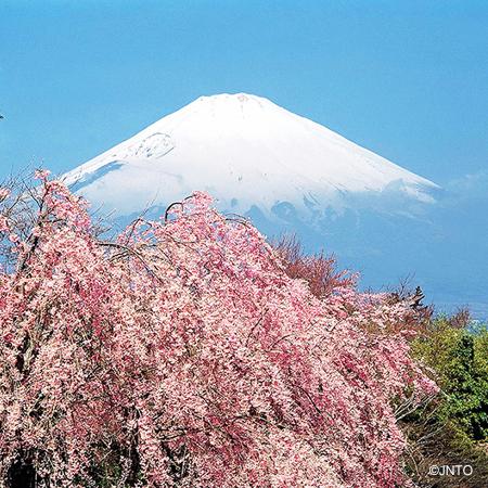 2018 Spectular Cherry Blossom In Osaka & Tokyo