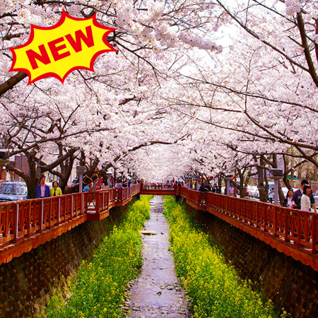 2019 Cherry Blossom Festival in Korea