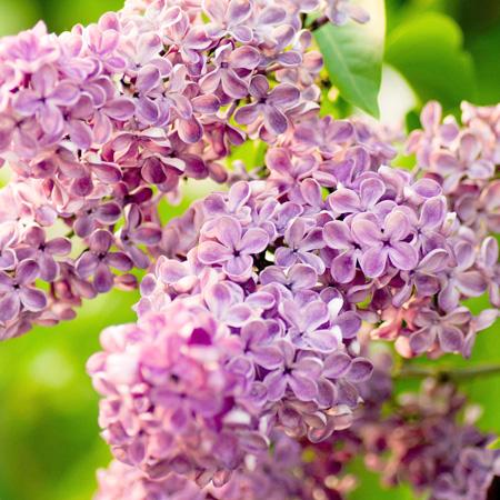 Hokkaido Spring Flower Festivals